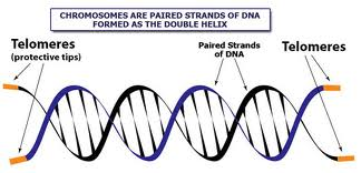 Telomeres and Your Long Term Health